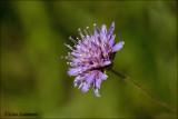 Field scabious - Beemdkroon_MG_4398