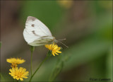 Small White - Koolwitje_MG_4649