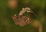 Speckled Wood - Bont Zandoogje_MG_9966