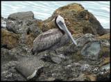Pelican of the week