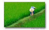 Work in ricefield-Travail en rizière