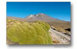 Yareta en Bolivie