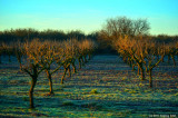 Orchard, Winter Morning