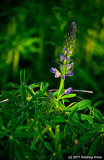 Pretty Purple Lupine