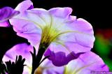 Backlit Petunia