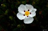 Crimson Spot Rockrose