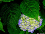 Hydrangea In A Bed of Leaves