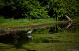 Great Blue Heron at Delta Ponds
