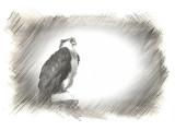 Osprey in a Photo Sketch