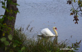 Swan in Mill Pond