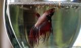Carol's Betta Fish (Siamese Fighting Fish)