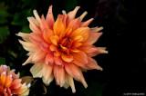 Dahlia, Still Blooming in October