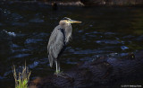 One of My Buddies - Great Blue Heron