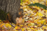 Nutty Buddy