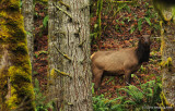 Cow Elk In The Cascades