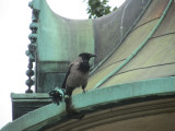 jackdaws are the top of the pecking order here