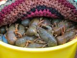 crayfish resting under a rug
