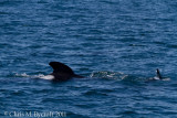 Pilot Whale (I think I have these right)