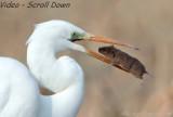 Grote Zilverreiger - Egretta alba - Great Egret