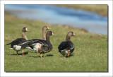 Kolgans    -    White-fronted goose