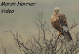 Bruine Kiekendief - Circus aeruginosus - Marsh Harrier