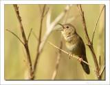 Sprinkhaanzanger    -    Grasshopper Warbler