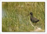 Zwarte Ruiter    -    Spotted Redshank