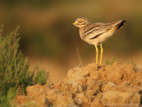 Griel    -    Stone Curlew
