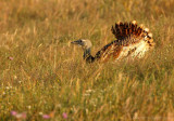 Grote Trap    -    Great Bustard