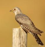 Koekoek    -    Cuckoo