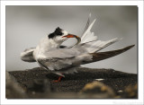Visdiefje    -    Common Tern