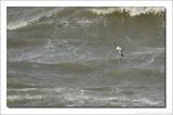 Noordse Pijlstormvogel    -    Manx Shearwater
