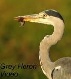 Blauwe Reiger - Ardea cinerea - Grey Heron