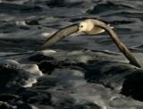 Noordse Stormvogel    -    Fulmar
