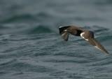 Kleine Jager    -    Arctic Skua