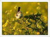 Kleine Klapekster - Lesser Grey Shrike