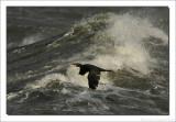 Aalscholver    -    Cormorant