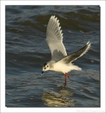 Dwergmeeuw    -    Little Gull