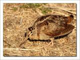 Houtsnip - Woodcock