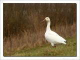 Sneeuwgans    -    Snow Goose