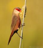 Sint Helenafazantje - Estrilda astrild - Common Waxbill