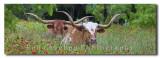 Texas Wildflowers and Texas Longhorns