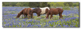 Horses in the bluebonnet field - a bluebonnet panorama