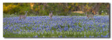 Bluebonnet Panorama with Deer in the bluebonnets