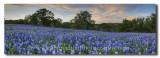 Texas Bluebonnet Panorama - Spring Sunset - San Saba County