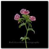 Texas Wildflowers - Pink Drummond Phlox