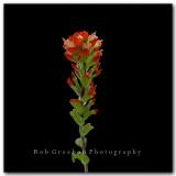 Texas Wildflowers - Indian Paintbrush