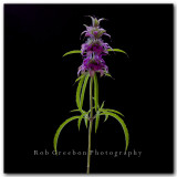 Purple Horsemint