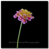 Texas Wildflowers - Lantana