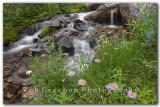 Alpine Daisy at First Creek